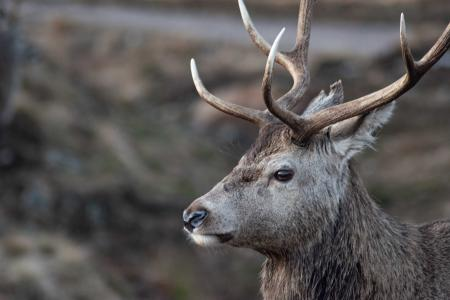 Portrait of a Scottish Stag in Rannoch