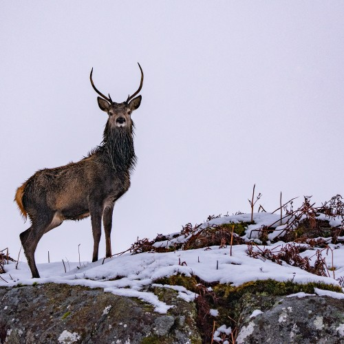 Stag looking down